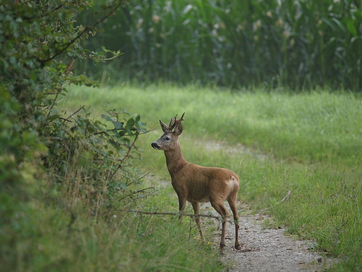 Békés megye nagyhatalom az őzbakvadászatban