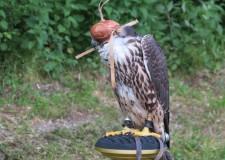 Lesz vadhúsfőző verseny, hagyományőrzés magyar agarakkal, vadászkürtös népzene, solymász- és néptáncbemutató, és a hagyományoknak megfelelően az ünnepségen avatják fel az új vadászokat