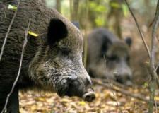 Műholddal figyelik a vaddisznókat a Balaton-felvidéken