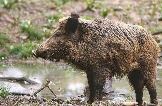 Soha nem látott mértékűre duzzadt a vaddisznó országos terítéke, a 2012-13-as vadászati évben 148 ezer vaddisznót lőttek ki Magyarországon