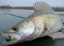 Téli pezsdülésben – téli gumihalas süllő cserkelések