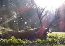 Kapitális bika a Lábodi Erdészetből – 2014. szeptember 28-i adásból
