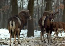 A muflonról – pro- és kontra: A természetvédők utálják, a vadászok szeretik!