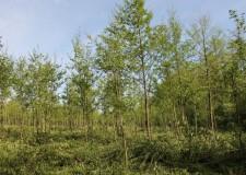Invazív fafajok visszaszorítása a KASZÓ Zrt. törzsterületén
