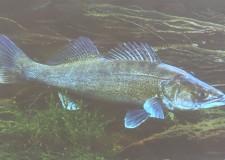 Életképek – A csuka, süllő, balin horgászata plasztik csalikkal – Előadás a Széchenyi Zsigmond Vadászati Múzeumban
