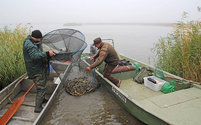 Csapdában a törpeharcsák – Tisza-tó – 2015.október 31