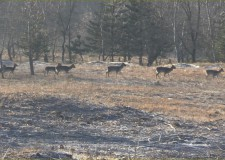 Eine erfolgreiche Drückjagd im Forstgebiet von KEFAG Zrt.