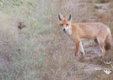 Szombaton kezdik a rókák veszettség elleni vakcinázását