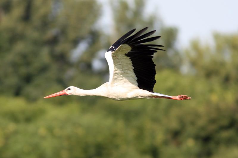 Zebrák között és metsző fagyban – fehér gólyáink mintegy 8.000 km-es vonalon szétszóródva, három kontinensen telelnek – 2017.01.16