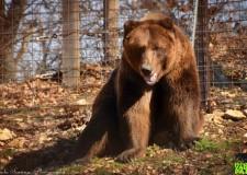 Két barnamedve érkezett a Budakeszi Vadasparkba – 2017.03.14