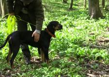 """""""Der siebenbürgische Spürhund verfügt über einen sehr athletischen Körperbau. Er ist gutmütig und es ist leicht, ihn zu tragen."""" – Tibor Pelczéder, Präsident Ungarischer Spürhunde-Club"""