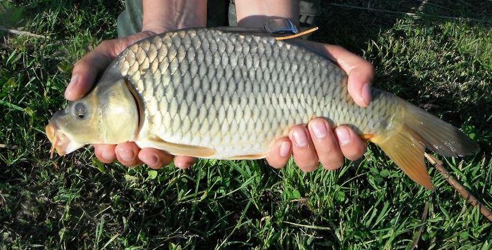 Gyorsan gyarapodnak halaink – Tisza-tó – 2017. augusztus 30.