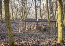 100-nál is több vaddisznót fogtak be a Pilisi Parkerdőben – 2018.01.11