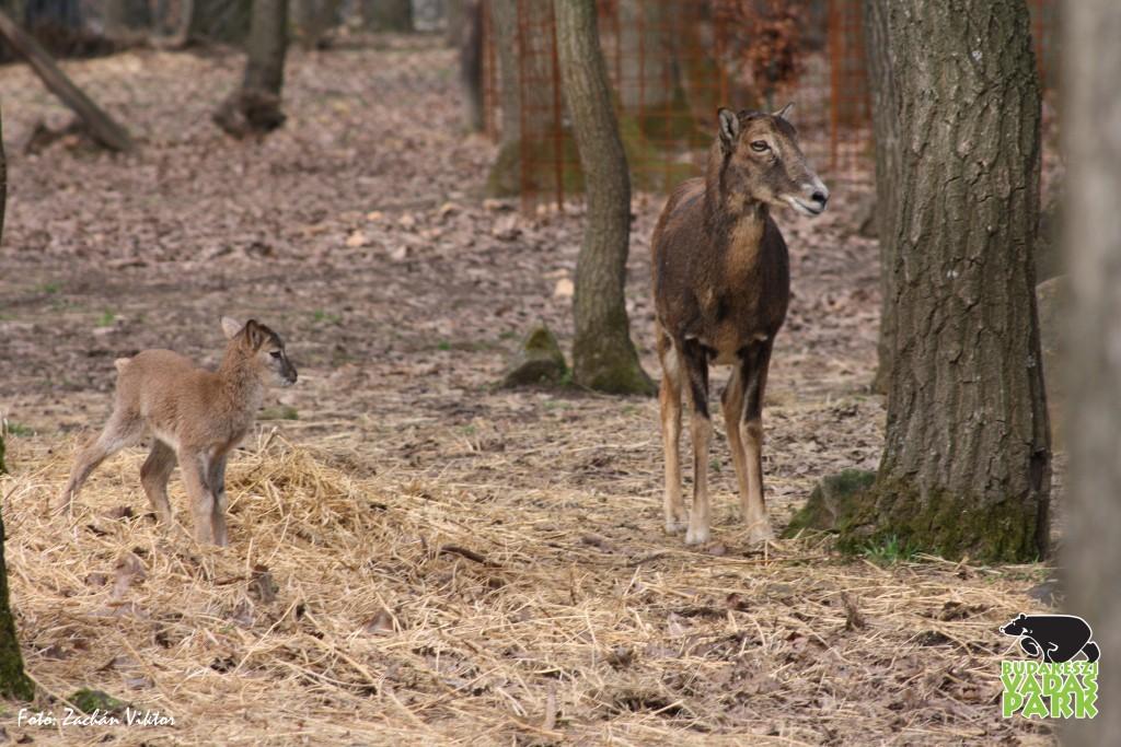 Életrevaló muflonok láttak napvilágot a Budakeszi  Vadasparkban! – 2018.04.09.