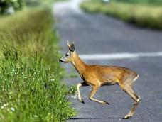 Őzbak az úton (fotós: Blaumann Ödön | vadfotos.hu) http://vadaszativedegylet.hu/hirek/balesetveszely-%E2%80%93-ozek-az-utakon!.html
