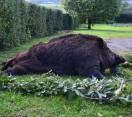 NIMRÓD Percek: Egy gigantikus vaddisznó elejtésének részletei – 222. – 2018.07.07-i adás