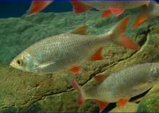 Az év hala: A vörösszárnyú keszeg – 2019.01.01.